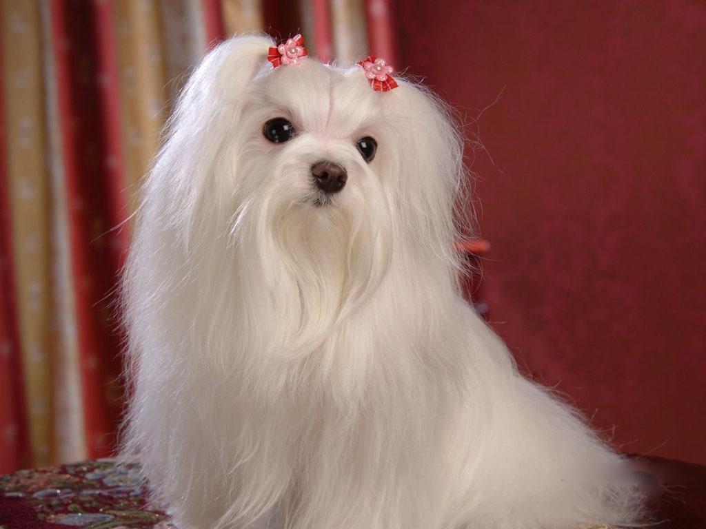 Maltese-Dogs-wallpaper-dogs-13937341-1024-768