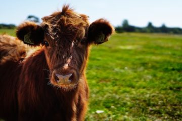 bull calf running free in field